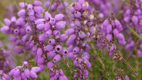Bell Heather The Wildlife Trusts