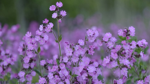 Red campion the wildlife trusts red campion mightylinksfo