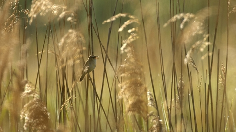 Common Reed The Wildlife Trusts