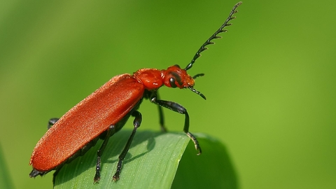 Red-headed Cardinal Beetle   The Wildlife Trusts