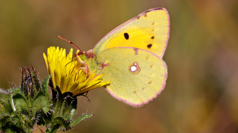 Clouded Yellow Real Butterflies