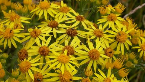 Common Ragwort The Wildlife Trusts