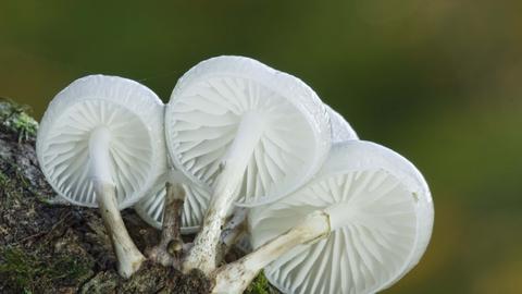 porcelain fungus the wildlife trusts