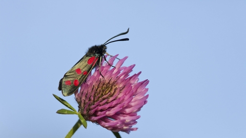 Six-spot Burnet moth on Red Clover