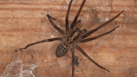 Giant House Spider The Wildlife Trusts
