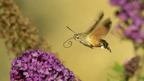 Humming-bird hawk-moth | The Wildlife Trusts