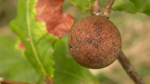 Oak Marble Gall Wasp The Wildlife Trusts