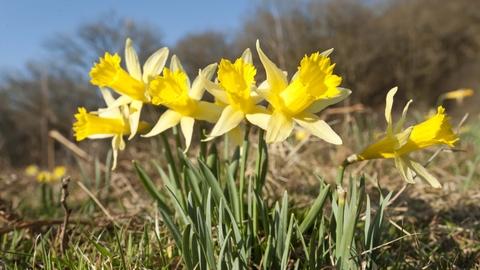 Wild Daffodil The Wildlife Trusts