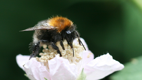 Tree Bumblebee The Wildlife Trusts
