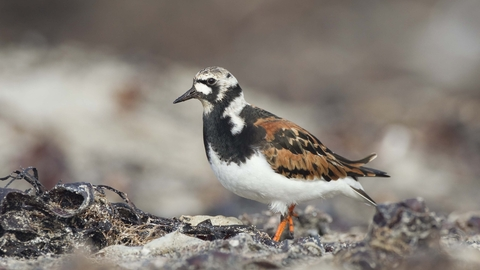 Image result for turnstone bird photos