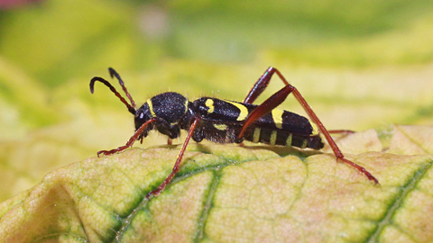 Wasp beetle   The Wildlife Trusts