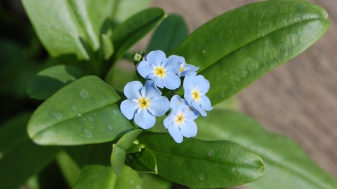 Water Forget Me Not The Wildlife Trusts