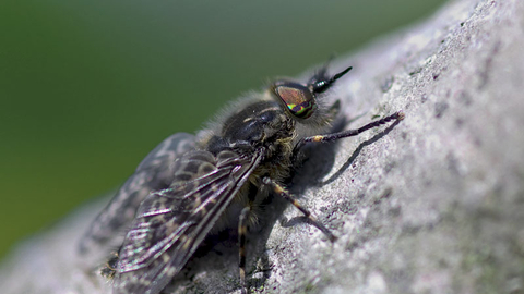 Notch-horned Cleg-fly