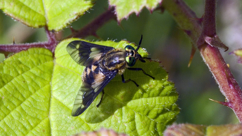 Twin-lobed Deer-fly | The Wildlife Trusts