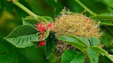 Robin's pincushion | The Wildlife Trusts