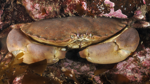 Edible Crab The Wildlife Trusts,How To Make Candles
