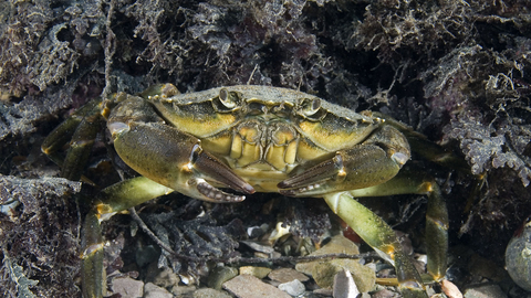 Shore Crab The Wildlife Trusts