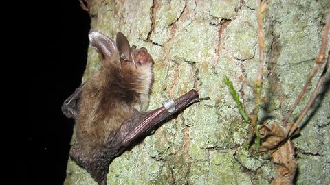 Bechstein S Bat The Wildlife Trusts