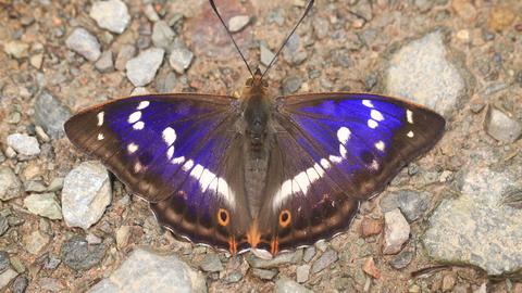 Purple emperor | The W...