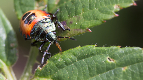 Bronze shieldbug nymph
