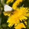 Green-veined White on Common Dandelion