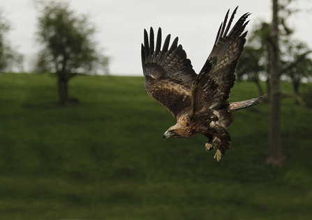 Golden eagle in flight