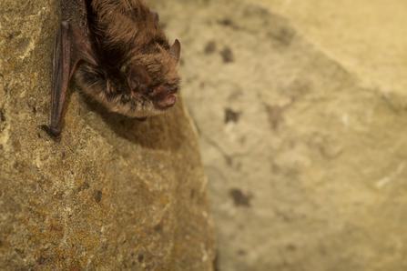 Adopt A Bat