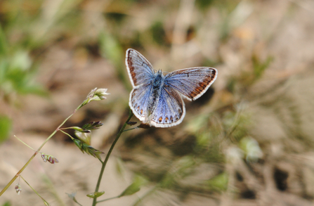 Common Blue butterfly female