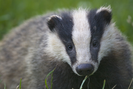 European badger - Bertie Gregory/2020VISION