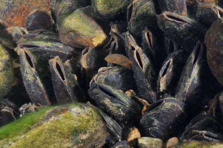 Freshwater Pearl Mussels - Linda Pitkin