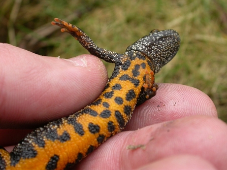 Great Crested Newt Belly (c) Philip Precey