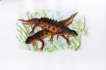 Great Crested Newts (c) Jeremy Wyatt