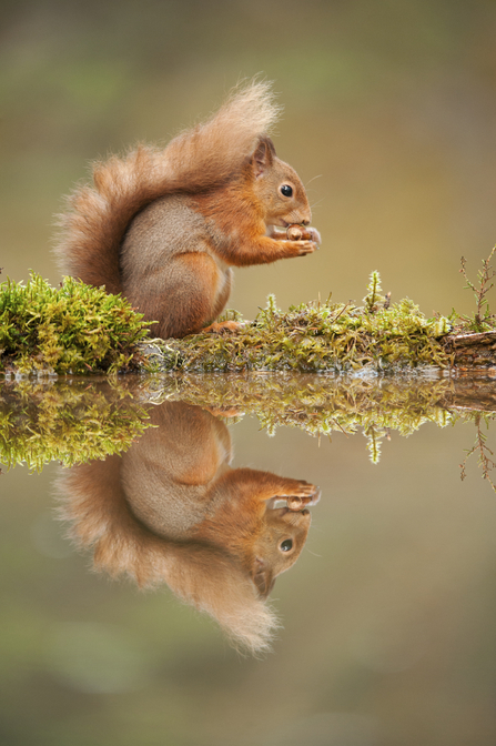 Red Squirrel (C) Mark Hamblin