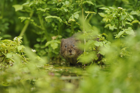 Water Vole (c) Terry Whittaker/2020VISION