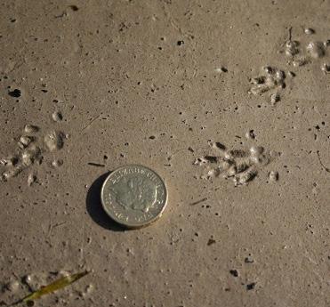 Water vole tracks