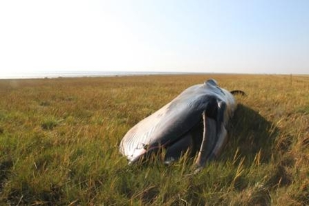 Potential Sei Whale stranded in grass, The Wildlife Trusts