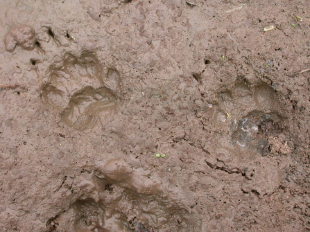 Badger prints in mud the wildlife trusts