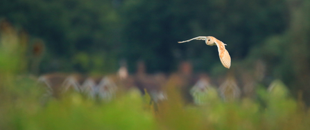 Barn owl flying near houses, The Wildlife Trusts
