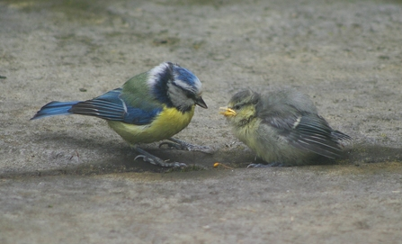 Blue tit feeding fledgling on the ground