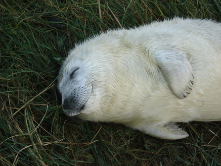 Grey seal pup lying with eyes closed, the Wildlife Trusts