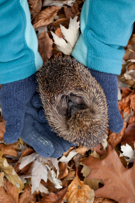 Hedgehog being held in gloved hands in autumn leaves, The Wildlife Trusts