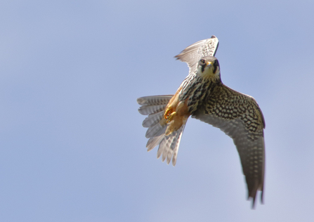 Hobby in flight, the Wildlife Trust