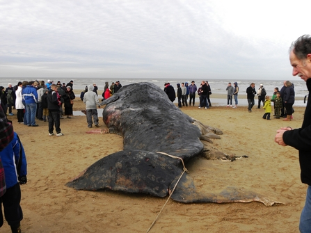 Stranded sperm whale on a beach surrounded by volunteers, The Wildlife Trusts