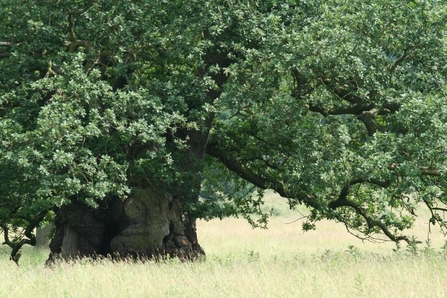 Veteran oak tree in a field, The Wildlife Trusts