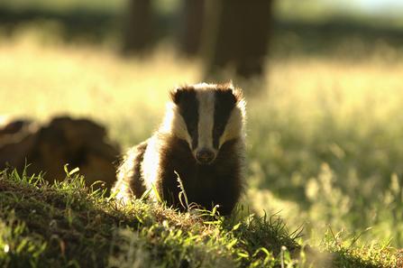 Badger in sunlight the wildlife trusts