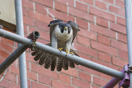 Peregrine falcon on scaffolding, The Wildlife Trusts