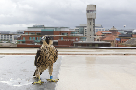 Juvenile peregrine falcon on rooftop with city in background, The Wildlife Trusts