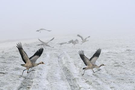 Common crane   The Wildlife Trusts