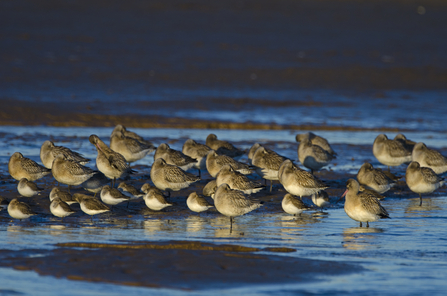 Bar-tailed Godwits and Dunlin roosting on a creek, the Wildlife Trusts