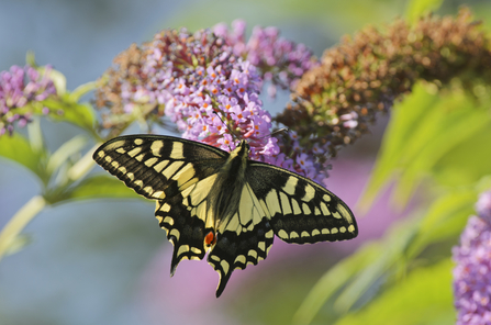 Swallowtail butterfly on pink buddleia flowers, The Wildlife Trusts